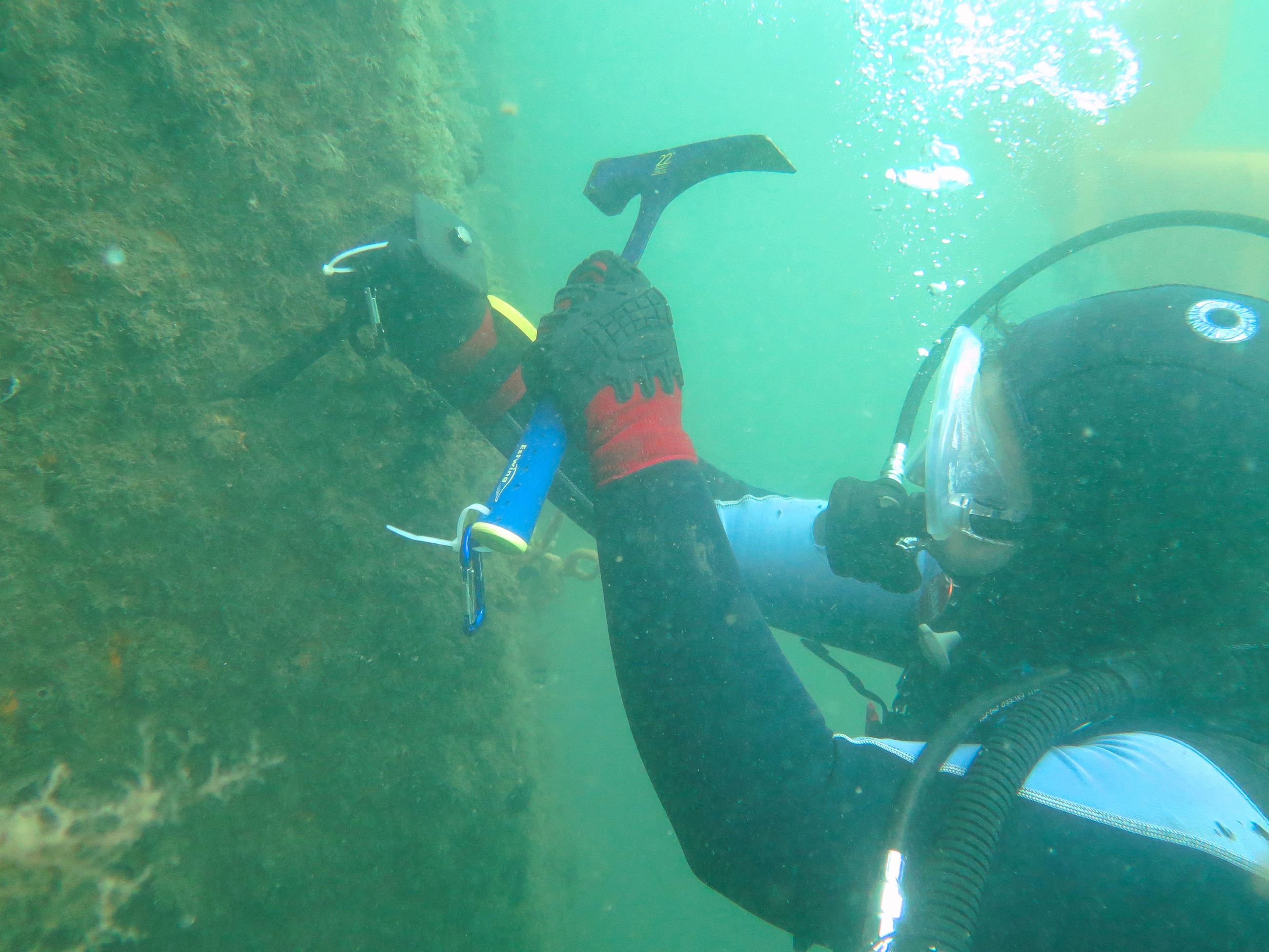 Diver removing stony corals
